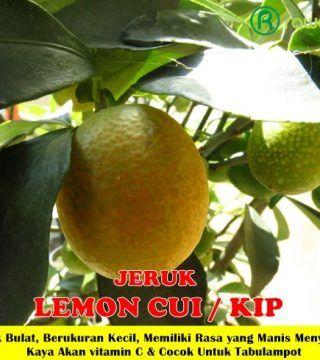 Bibit Tanaman Jeruk Lemon Cui Di 2020 Lemon Buah Tanaman