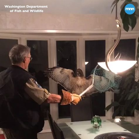 A red-tailed hawk flew into a home in Washington and a Wildlife officer came in to rescue and remove it safely.