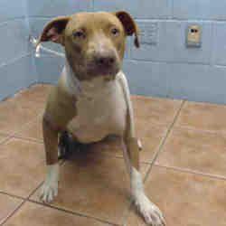 Pet Card American Pitbull Terrier Pitbull Terrier Bull Terrier