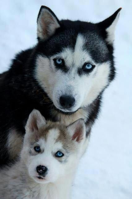 Siberian Husky Outgoing And Cheeky Siberian Husky Dogs Puppies