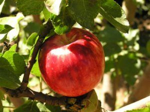 White Doyenne Pear Organic Gardening