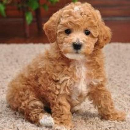 Wanted Maltipoo Puppy Red White Apricot Mix Maltipoo Dog