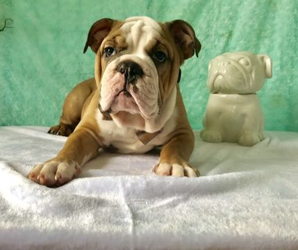 Bulldog Puppy For Sale In Cranston Ri Adn 69386 On Puppyfinder