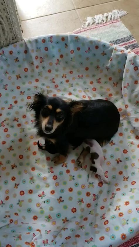 Adopt 2 Dachshund X Puppies Left Ready For Adoption On Paws Rescue Baby Dachshund Puppies