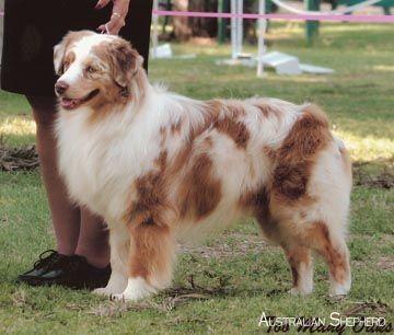 Australian Shepherd Australianshepherdworld Australianshepherdsoftheworld Australische Schaferhunde Aussie Hund Aussie Welpen