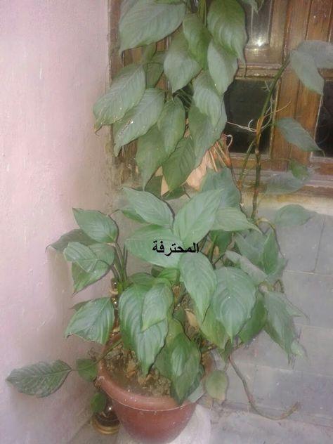 Pin By Sosa On نبتة ورق الليمون Plants