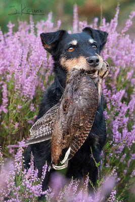 Deutscher Jagdterrier Julia Kauer Jagdhunde Fotografie Jagdhunde Terrier Hunde