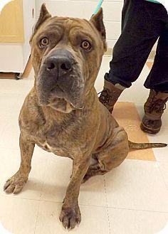 Westampton Nj Cane Corso Meet Gabe D 57323 A Dog For Adoption