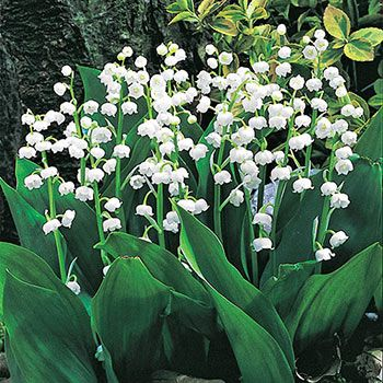 Giant Lily Of The Valley Shade Perennials Shade Plants Lily Of The Valley Flowers