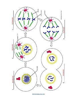 Mitosis Coloring Key By Biologycorner Teachers Pay Teachers Mitosis Coloring Mitosis Coloring Key By Bio In 2020 Mitosis Biology Corner Mitosis Activity Worksheets