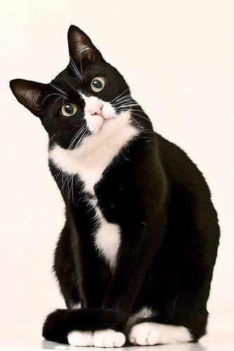 Tuxedo Cat -love my 2 kitty cats! Pretty Cats, Beautiful Cats, Animals Beautiful, Cute Animals, Pretty Kitty, Beautiful Images, I Love Cats, Crazy Cats, Cool Cats