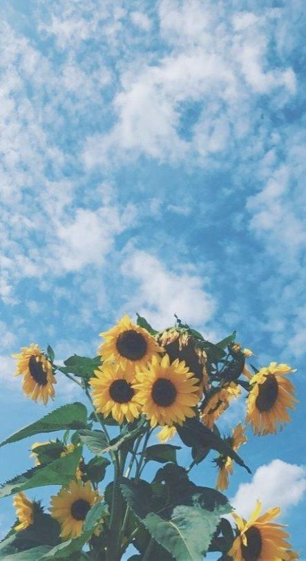 Free Download Of Gadgets For Windows 10 Lot Iphone 6 Wallpaper Tumblr Flowers Into Sunflower Iphone Wallpaper Sunflower Wallpaper Backgrounds Phone Wallpapers