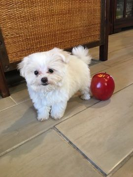 Maltese puppy for sale in LOS ANGELES, CA  ADN-44540 on