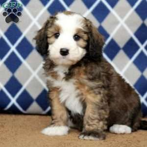 Mini Bernedoodle Puppies For Sale Greenfield Puppies Bernedoodle Puppy Bernedoodle Bernadoodle Puppy