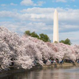 Yoshino Flowering Cherry Flowering Cherry Tree Yoshino Cherry Tree Cherry Blossom Tree