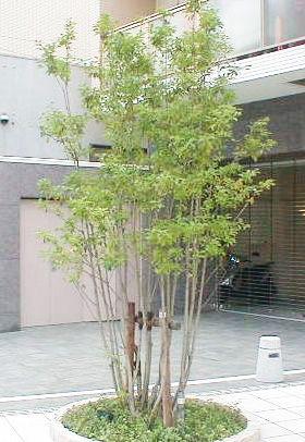 八千代店ブログ カテゴリー 目隠しにおすすめの庭木シリーズ 庭