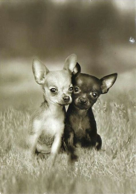 Chihuahua Friends Puppies Pets