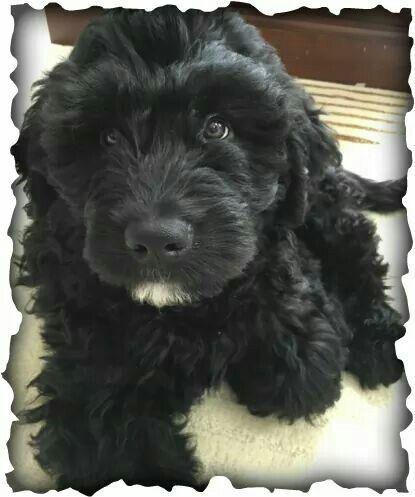 Newfypoo Big Dog Hypoalergenic Puppy Newfoundland Poodle