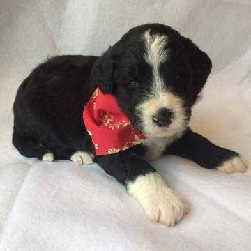 Litter Of 9 Bernese Mountain Poo Puppies For Sale In Eau
