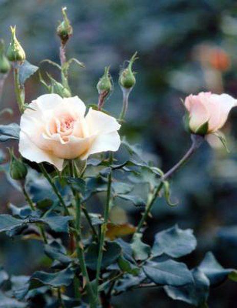 How To Transplant A Blooming Rosebush Rose Cuttings Hybrid Tea Roses Rose Bush