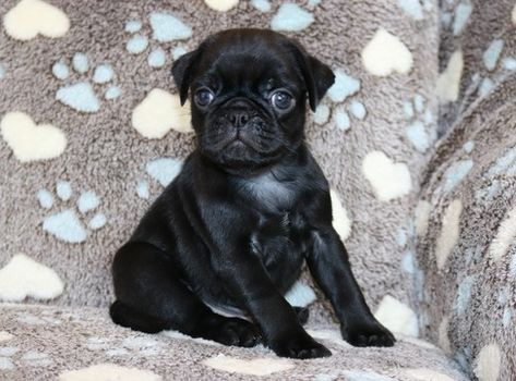 Pug Puppy For Sale In Clements Md Adn 57372 On Puppyfinder Com