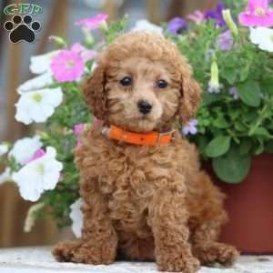 Miniature Poodle Puppies For Sale Mini Poodles Poodle Puppies