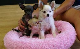 Chihuahua Puppies For Sale New York Westchester Toy Puppies