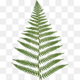 Kaktus Png Fern Flower Potted Ferns Maidenhair Fern