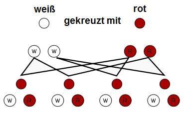 Mendel  Uniformitätsregel Dominant-Rezessiv