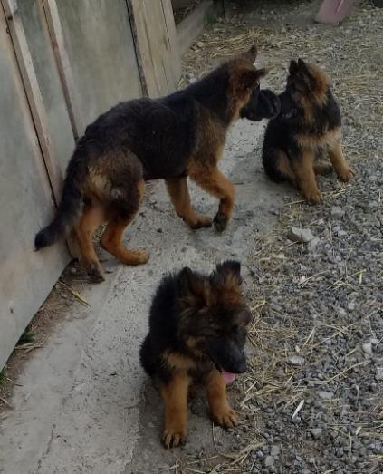 Altdeutsche Schaferhunde Langhaar In 2020 Schaferhunde Hunde