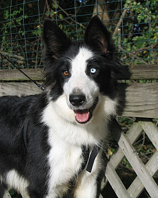 Hobart In Border Collie Meet Alice Rescue Group Needed A Dog