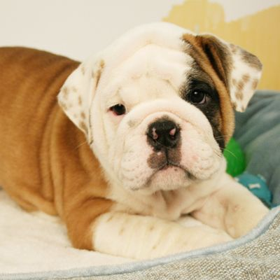 English Bulldog Puppies For Sale English Bulldog English