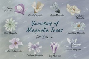 All About Magnolia Species Trivia Southern Magnolia Tree