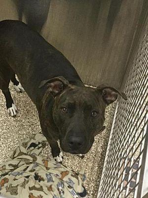 Martinsburg Wv Pit Bull Terrier Meet Tinkerbell A Dog For