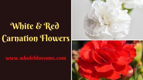 Buy Bulk Red Carnations Red Carnation Carnation Flower Carnations