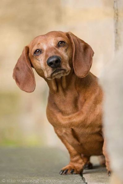 Dachshund Products Apparel And Gifts Smartest Dog Breeds