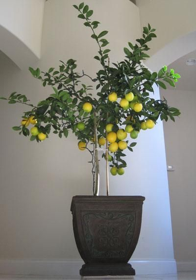 Meyer Lemon Tree With Images Meyer Lemon Tree Lemon Tree