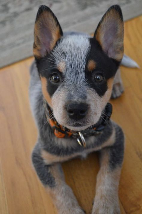 Australian Cattle Dog Dog Breed Information, Popular Pictures