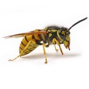 Learn The Real Difference Bee Bee Wasp Hornet Wasp