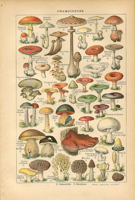 Vintage Mushroom Print
