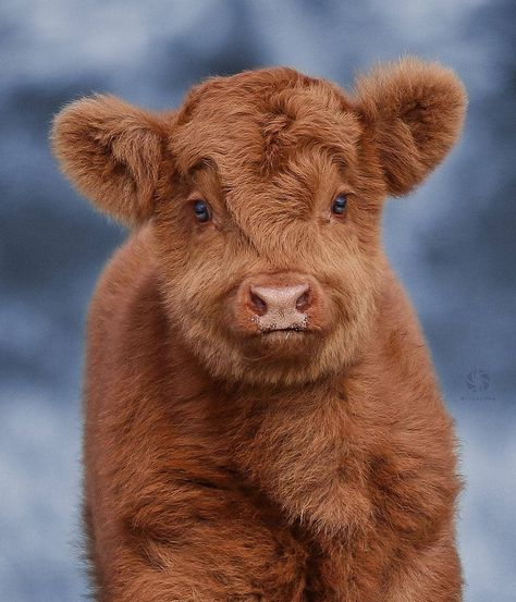 Cute Baby Cow, Baby Cows, Cute Cows, Cute Funny Animals, Cute Babies, Fluffy Cows, Fluffy Animals, Baby Animals, Rodeo Cowboys