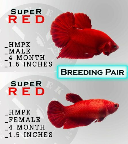 Pin Di Breeding Pairs Of Aquarium Fish For Sale