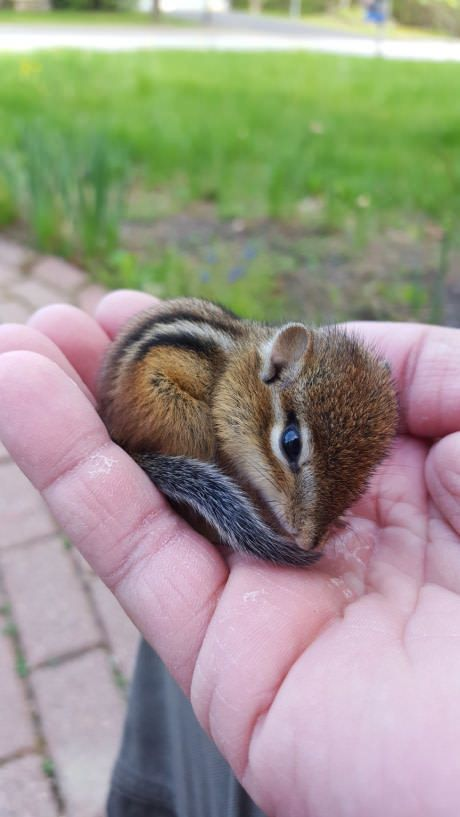 Baby chipmunk that was laying on our walkway.
