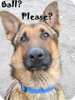 Tully Ny German Shepherd Dog Meet Gizmo A Dog For Adoption