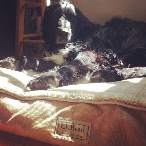 Another fun #LLBeanPets photo! Sherm lounging on his #LLBean dog bed.