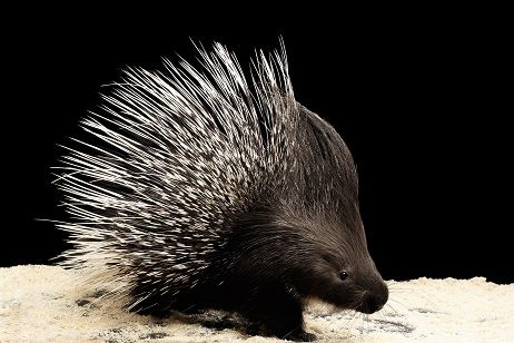 All About Porcupine Quills And Dogs Bluepearl Vet Animal Hospital Pet Blog Pet Health
