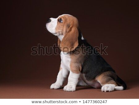 Stock Photo Cute Beagle Puppy Sitting On A Brown Background