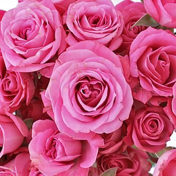 Order Spray Roses online at wholesale prices! Our Twinkle Bride Pink Mini Roses will add that subtle touch of pink femininity that your bouquet needs! These would look amazing alongside an ivory garden rose for a soft, lush bridal bouquet! Offered in packs of 6 and 10 bunches.