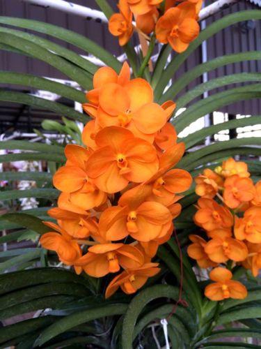 Vanda Nopporn Orange Rosy Orchid Plant Flower