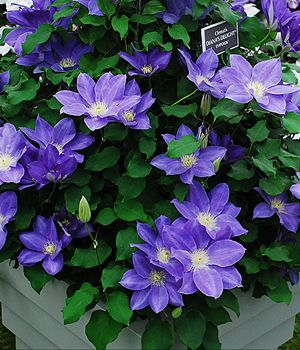 Diana S Delight Clematis 1 Gallon All Plants